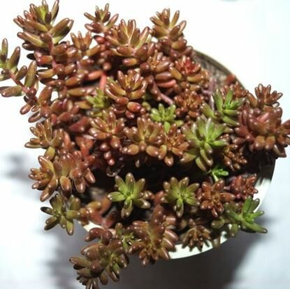 очиток многолетний с красными листьями