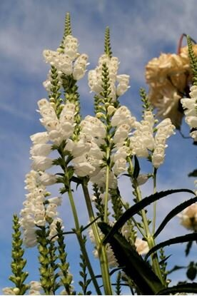 купить летние растения физостегия белая Киев